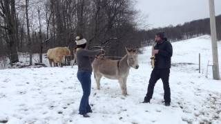 the hee haw donkey serenaded by ryan and shelby