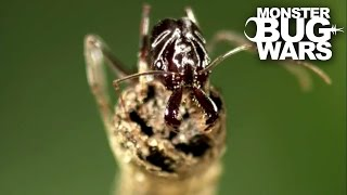 Marbled Scorpion Vs Trap Jaw Ants | MONSTER BUG WARS
