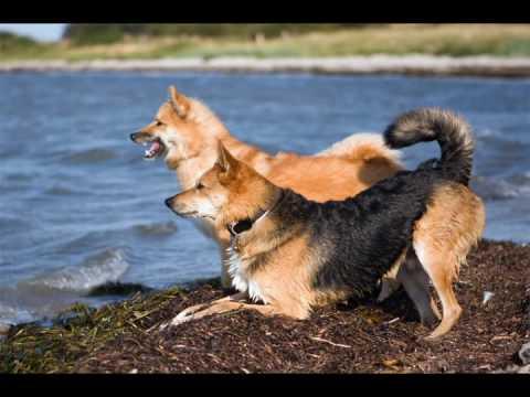 Water Fun (Stanley / mix & Alisa / Icelandic sheepdog)