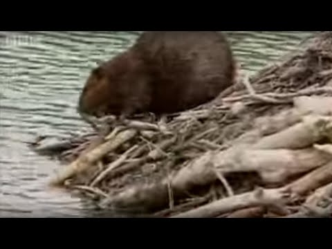 How Beavers Build a Lodge - BBC Animals