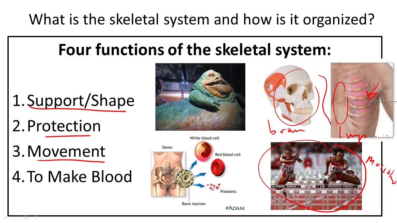Skeletal System Structure And Function Youtube