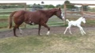 """Coconut""- Beautiful Rare Medicine Hat Filly - first day outside!"