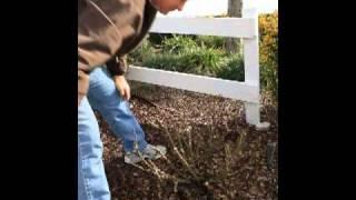Floribunda & Hybrid Tea Rose Pruning