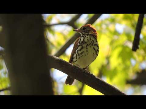 Singing Wood Thrush