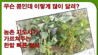 농업기술원신품종소개 농촌지도사가 알려주는 검정콩 서리태…