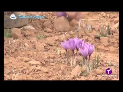 Ancha Es Castilla La Mancha Cultivo Rosa Azafran Youtube - Cultivo-azafran