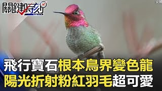 「會飛行的寶石」根本鳥界變色龍! 陽光折射粉紅羽毛超卡哇伊! 關鍵時刻 20180323-3 劉燦榮