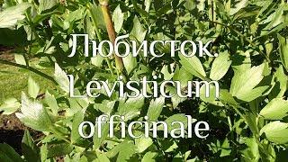 Любисток. Levisticum officinale