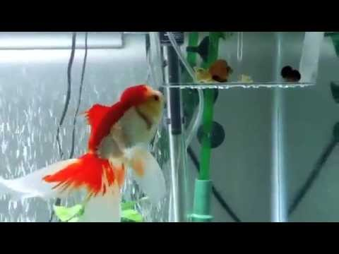 how to keep goldfish alive