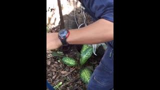 Спасатель из Бангкока, поймал ядовитую кобру голыми руками.