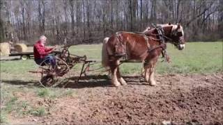 Planting potatoes with a Horse-drawn cultivator
