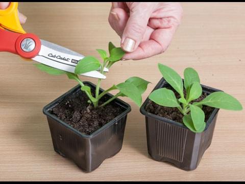Петуния выращивание рассады