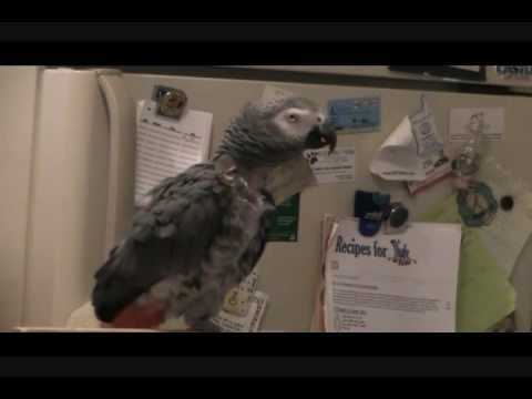 Our African Grey Jerry Talking