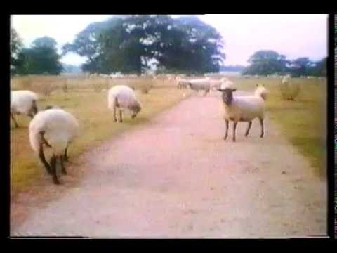 COI Sheep on road 1970s UK Public Information Film