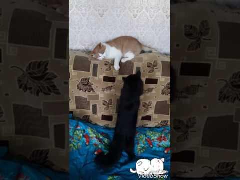 первое знакомство котов