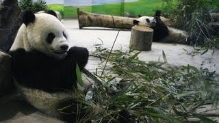 Panda Diplomacy From China Panda Diplomazia dalla Cina Panda Diplomatie Von China
