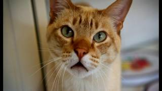 Порода кошек. Австралийская дымчатая кошка. Австралийский мист,редкая и необыкновенная кошка.