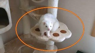 キャットタワーを占領するフェレット【5Ferret1Cat】Ferret occupying t...