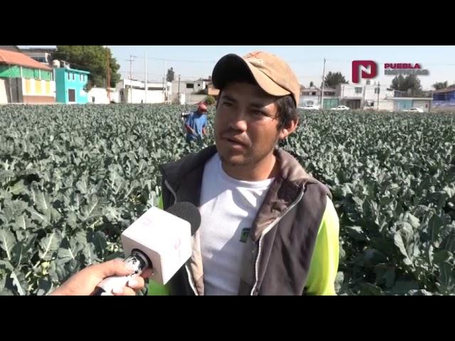 #SET #PueblaNoticias Arranca cosecha de brócoli en San Pedro Cholula
