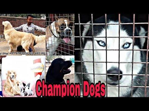 Siberian Husky Golden Retriever Rottweiler Dogs German Shepherd Manoj Pet Shop & Kenal