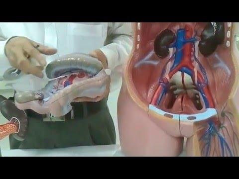 giải phẫu cơ thể phần DẠ DÀY-RUỘT-MẠCH MÁU (FULL HD)