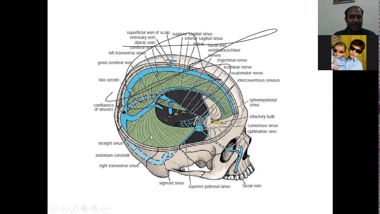meninges of brain - YouTube