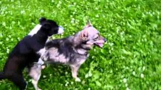 собаки...смотреть до конца(это два самца)(, 2011-01-23T14:55:11.000Z)