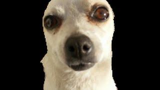 **Chihuahua Temperament - WARNING!!