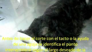 Corte De Cola Paso A Paso Y Estándares Para Caudectomía Según Akc. Clínica Veterinaria Cachorro.