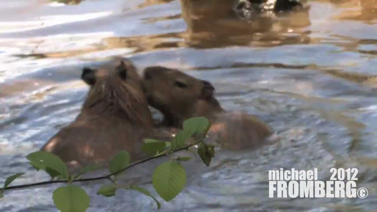 Capybara Babies Swimming - Michael Fromberg - YouTube