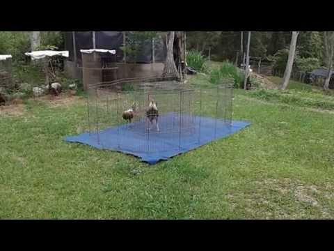 Gallos triple x entrenando,  Caracas - Venezuela Gallos finos de combate.