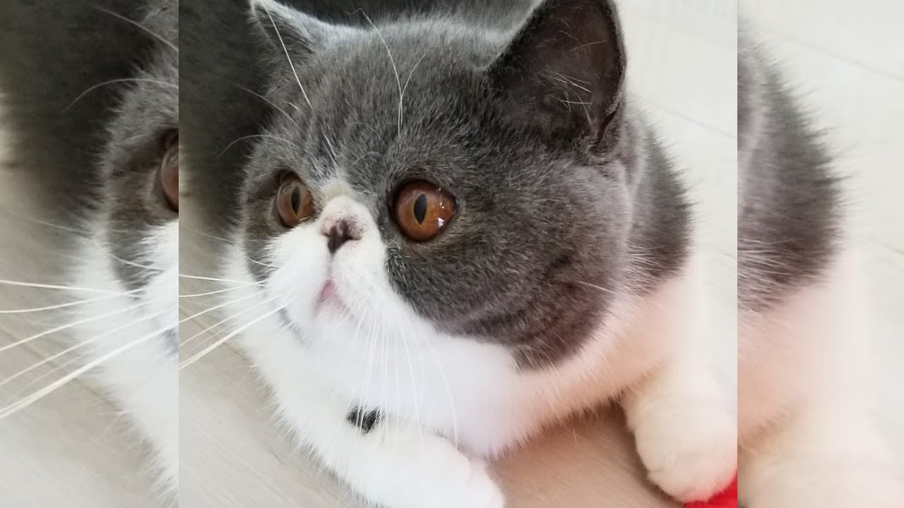 Adorable Exotic Shorthair Cat # 8 😍🐱 可愛らしい猫