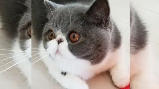 Adorable Exotic Shorthair Cat # 8  可愛らしい猫