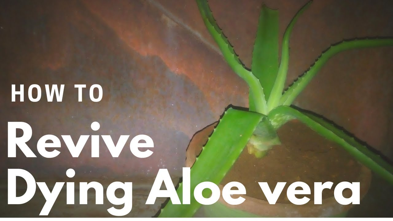 how to revive a dying aloe vera plant youtube