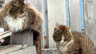 Серый папа и Рычард + Лапочка! Кошки! Март 2012