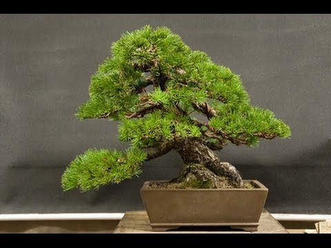One of the oldest bonsai trees japanese white pine youtube one of the oldest bonsai trees japanese white pine mightylinksfo