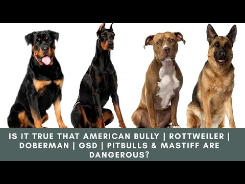 is-it-true-that-american-bully-|-rottweiler-|-doberman-|-gsd-|-pitbulls-&-mastiff-are-dangerous?