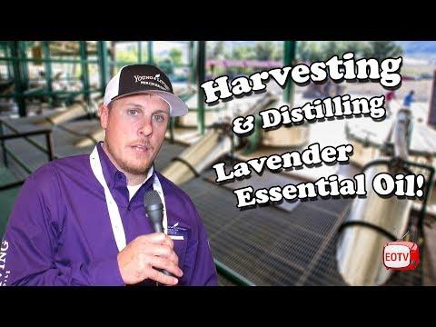 ✅-harvesting-and-distilling-lavender-essential-oil- -essential-oil-tv