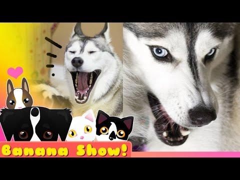 FIERCE HUSKY LION | The Banana Talking Dog Show Ep: 17