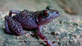 Cuban Cave Frog - 60 Second Species