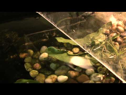 Anubias Coffeefolia, Anubias Barteri in the turtle tank