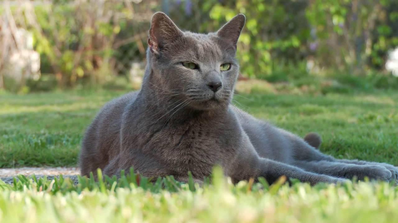 Обои smoky, дымчатый, кот, cat. Кошки foto 15
