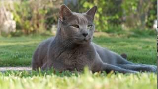 Дымчатый кот на траве [Видео обои]