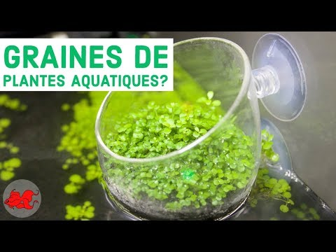 plante aquatique graine