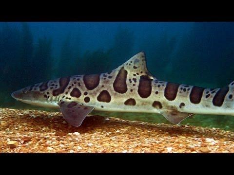 Local Legends: The Leopard Sharks of La Jolla Shores - Perspectives on Ocean Science