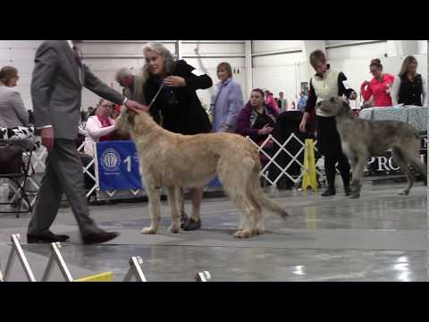 11-11-2018 Ozarks Kennel Club - Irish Wolfhounds - Springfield MO
