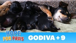A stray dog walked into a yard and gave birth to 9 puppies.  Watch for the PIG at the end  :-)