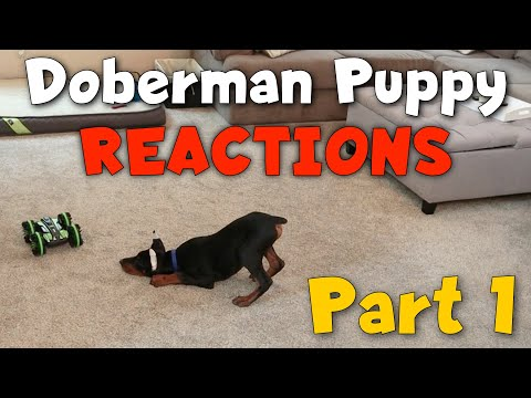 Doberman Puppy Reacts to EVERYTHING (Part 1)