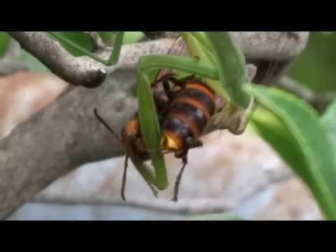 カマキリとスズメバチ
