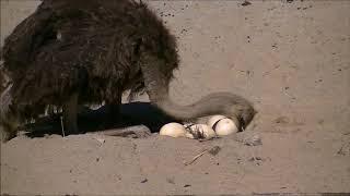 *** Strusie jaja - Śląski Ogród Zoologiczny ***